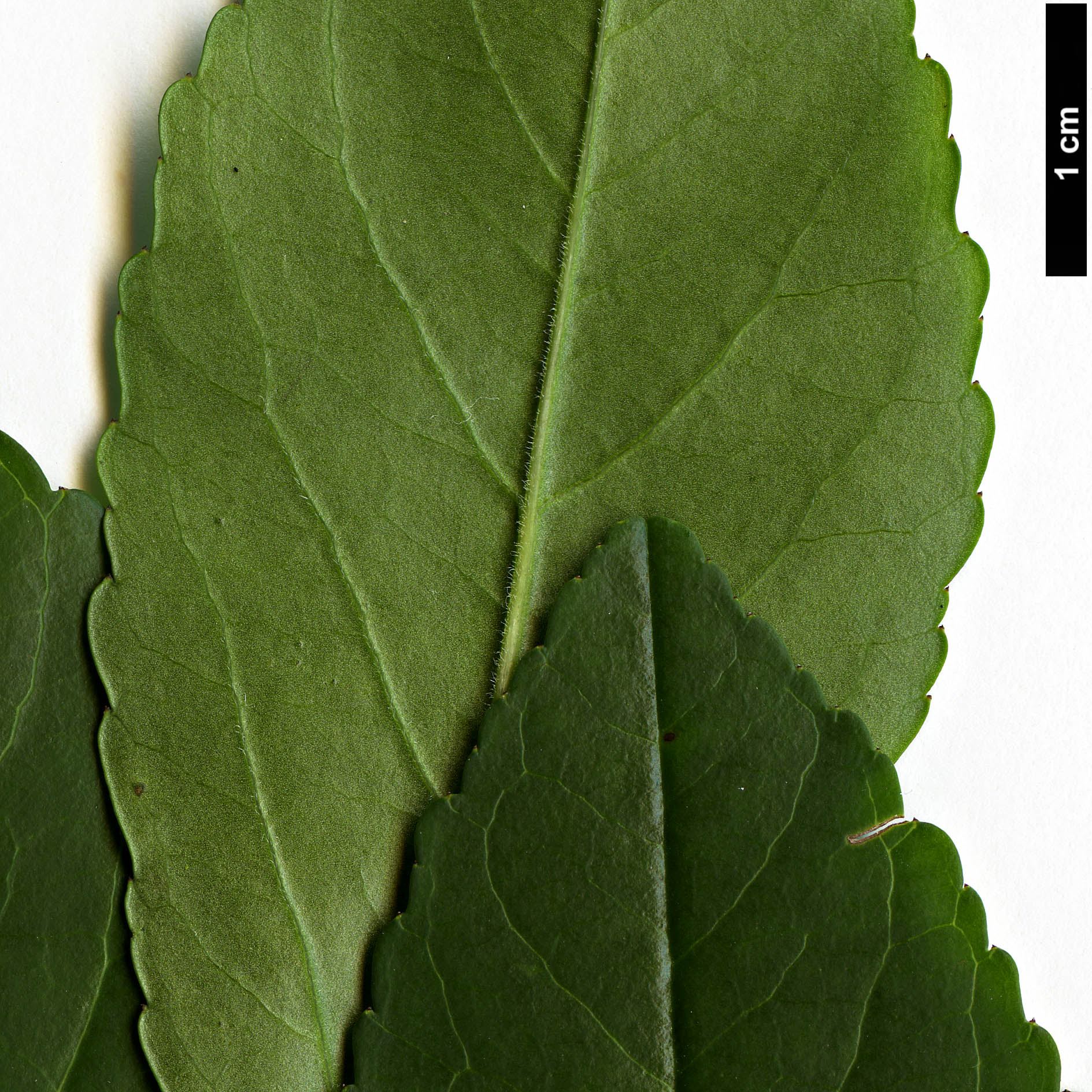 High resolution image: Family: Aquifoliaceae - Genus: Ilex - Taxon: decidua
