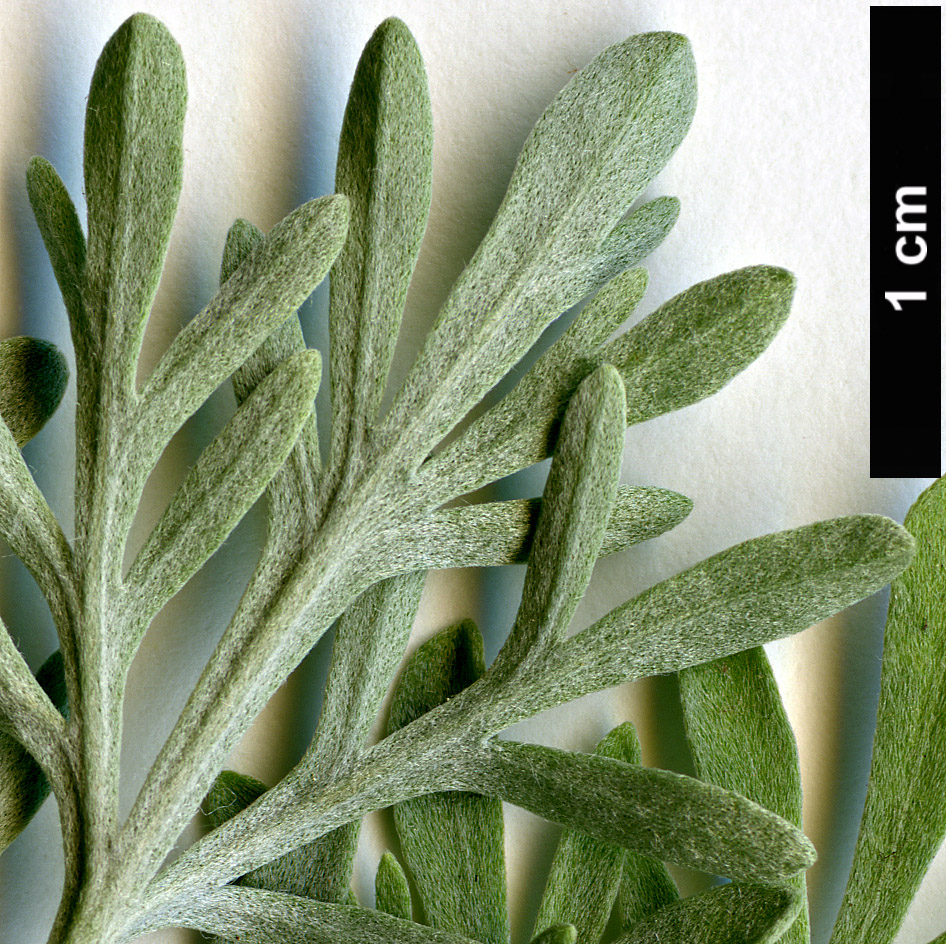 High resolution image: Family: Asteraceae - Genus: Artemisia - Taxon: thuscula