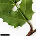 HerbariumCode: OCOLIN - Herbarium: Olivier Colin - Number plant: 2517 - Number picture: 04
