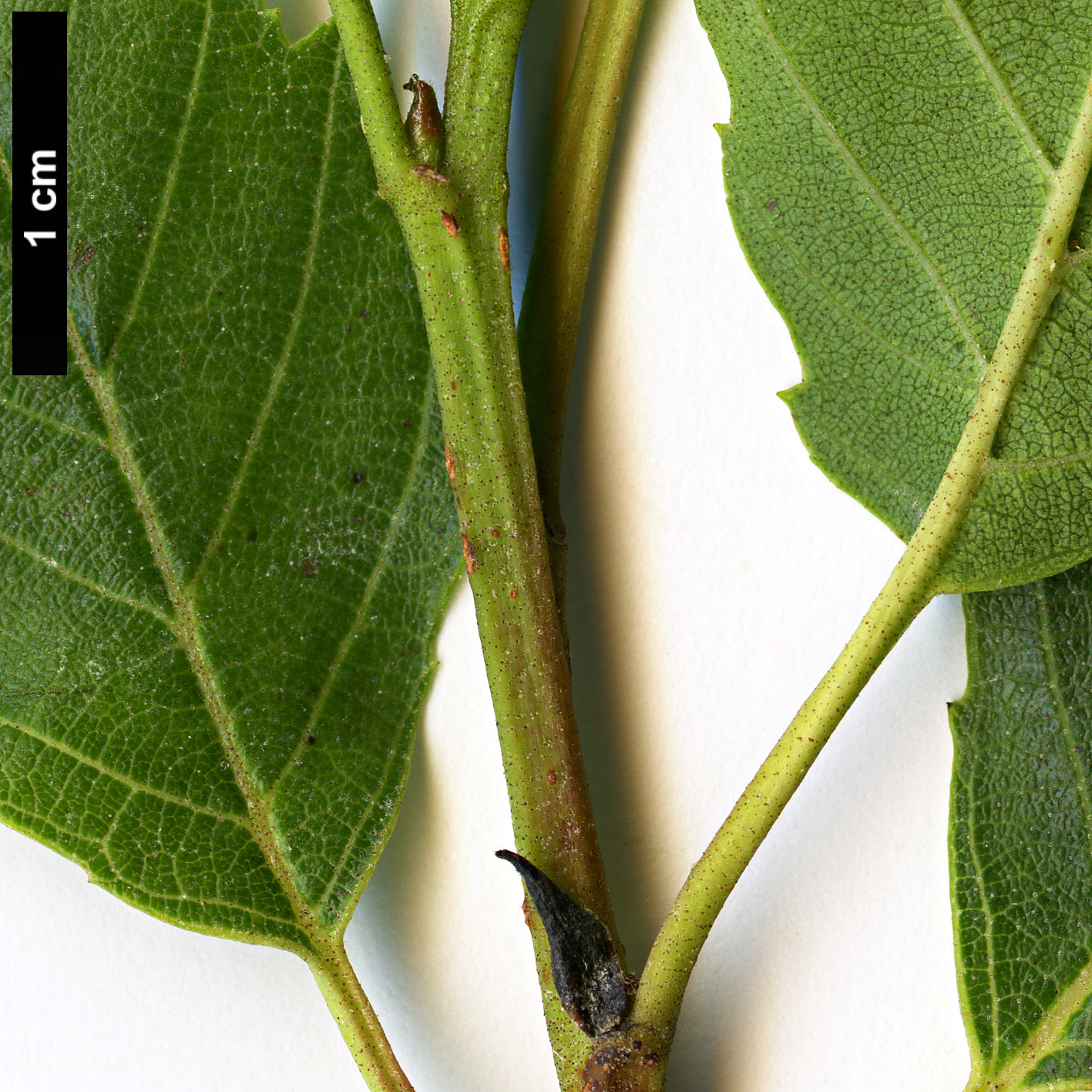 High resolution image: Family: Betulaceae - Genus: Alnus - Taxon: jorullensis