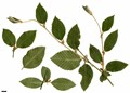 HerbariumCode: MFOST - Herbarium: Maurice Foster, Ivy Hatch (UK) - Number plant: 0000-RLANC1691 - Number picture: 01