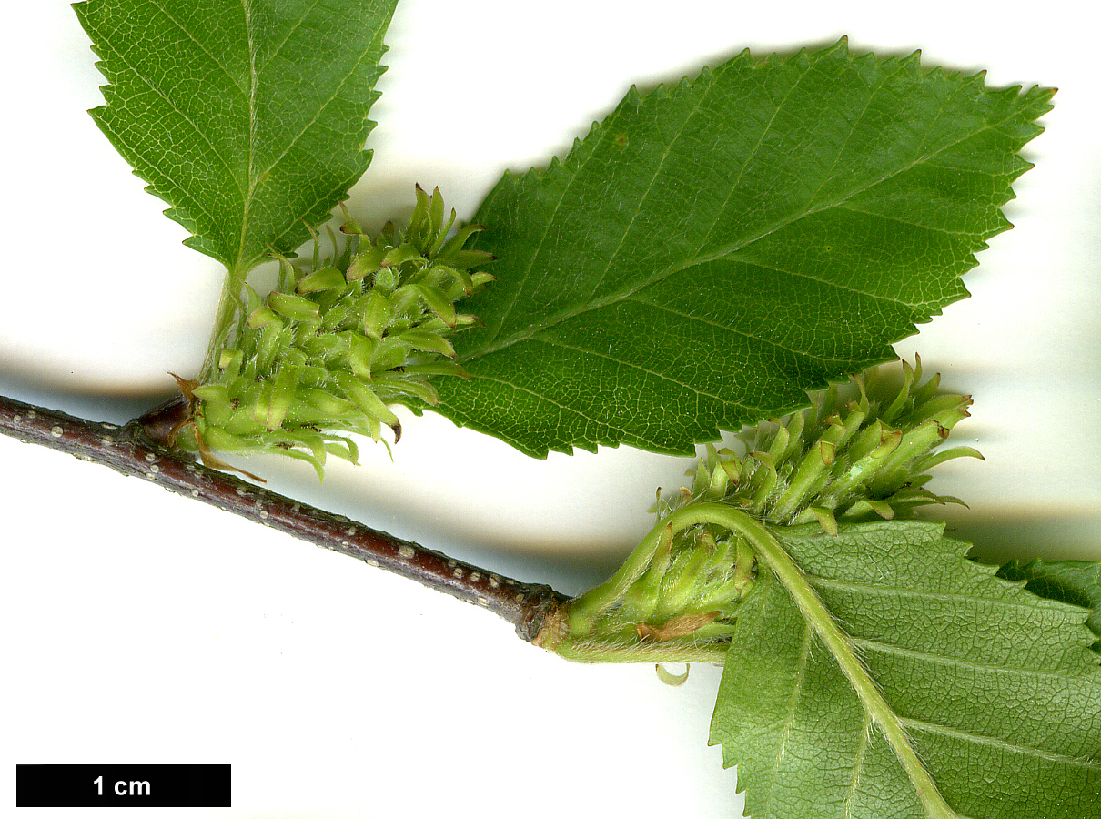 High resolution image: Family: Betulaceae - Genus: Betula - Taxon: chinensis