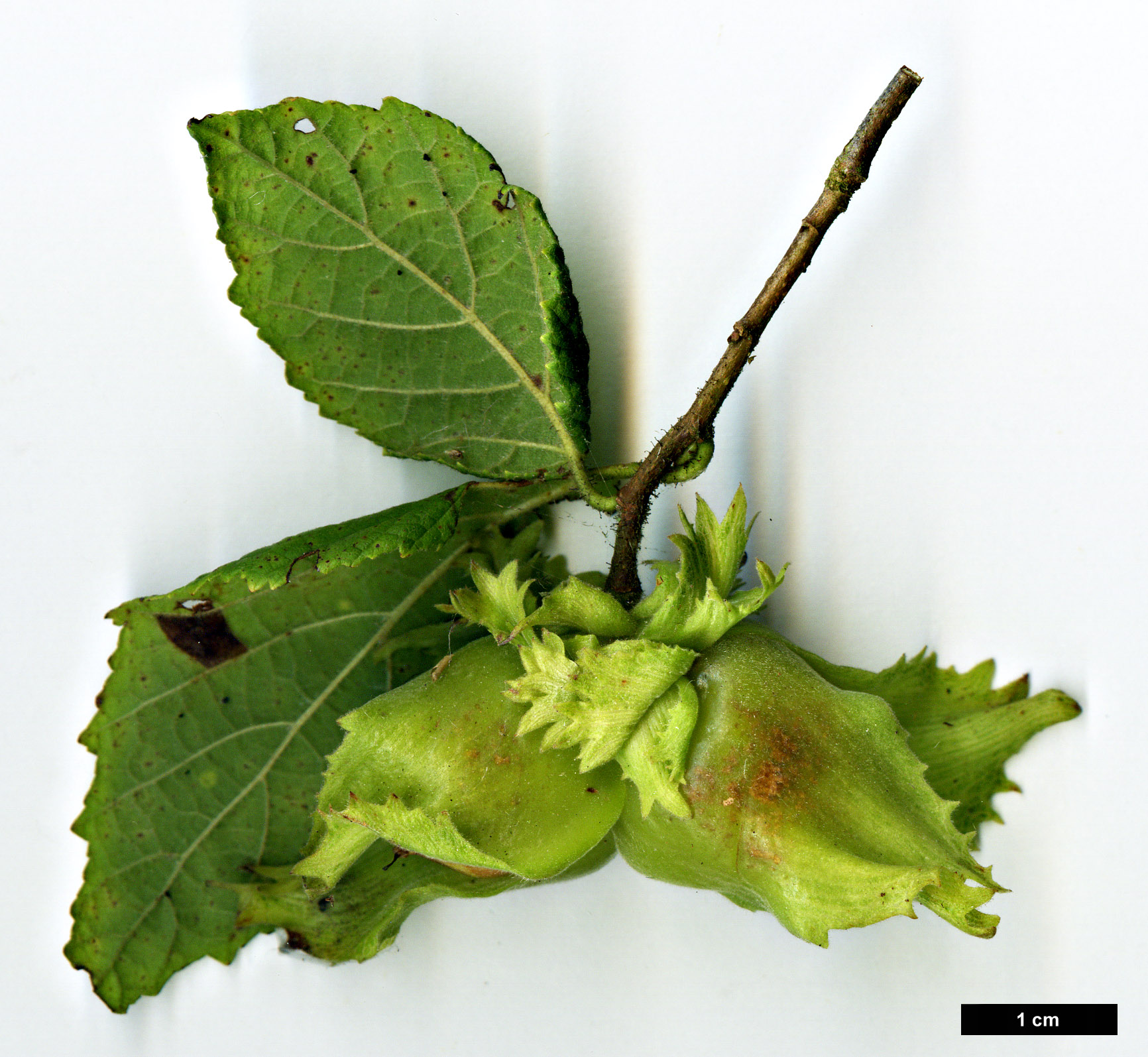 High resolution image: Family: Betulaceae - Genus: Corylus - Taxon: americana