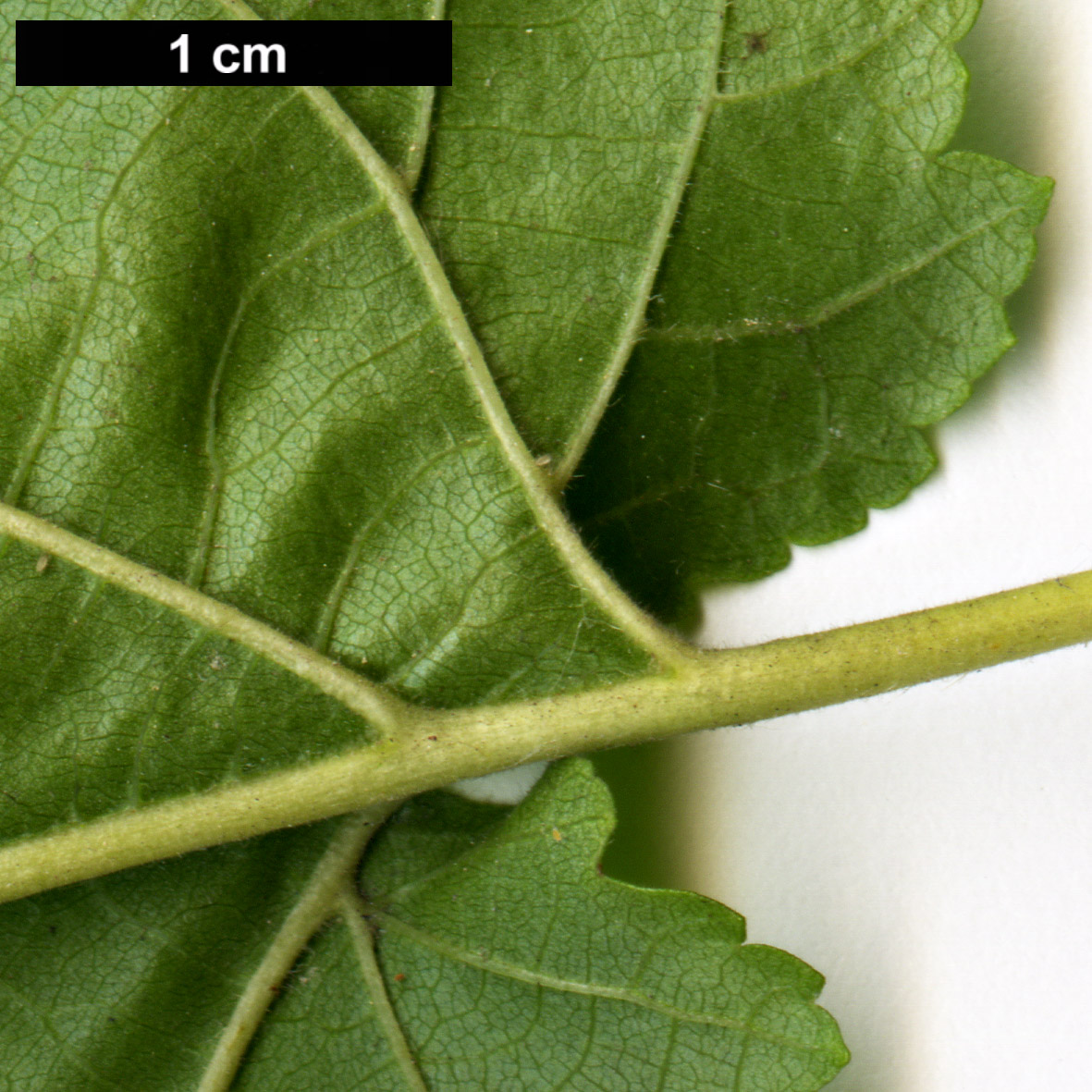 High resolution image: Family: Betulaceae - Genus: Corylus - Taxon: colurna