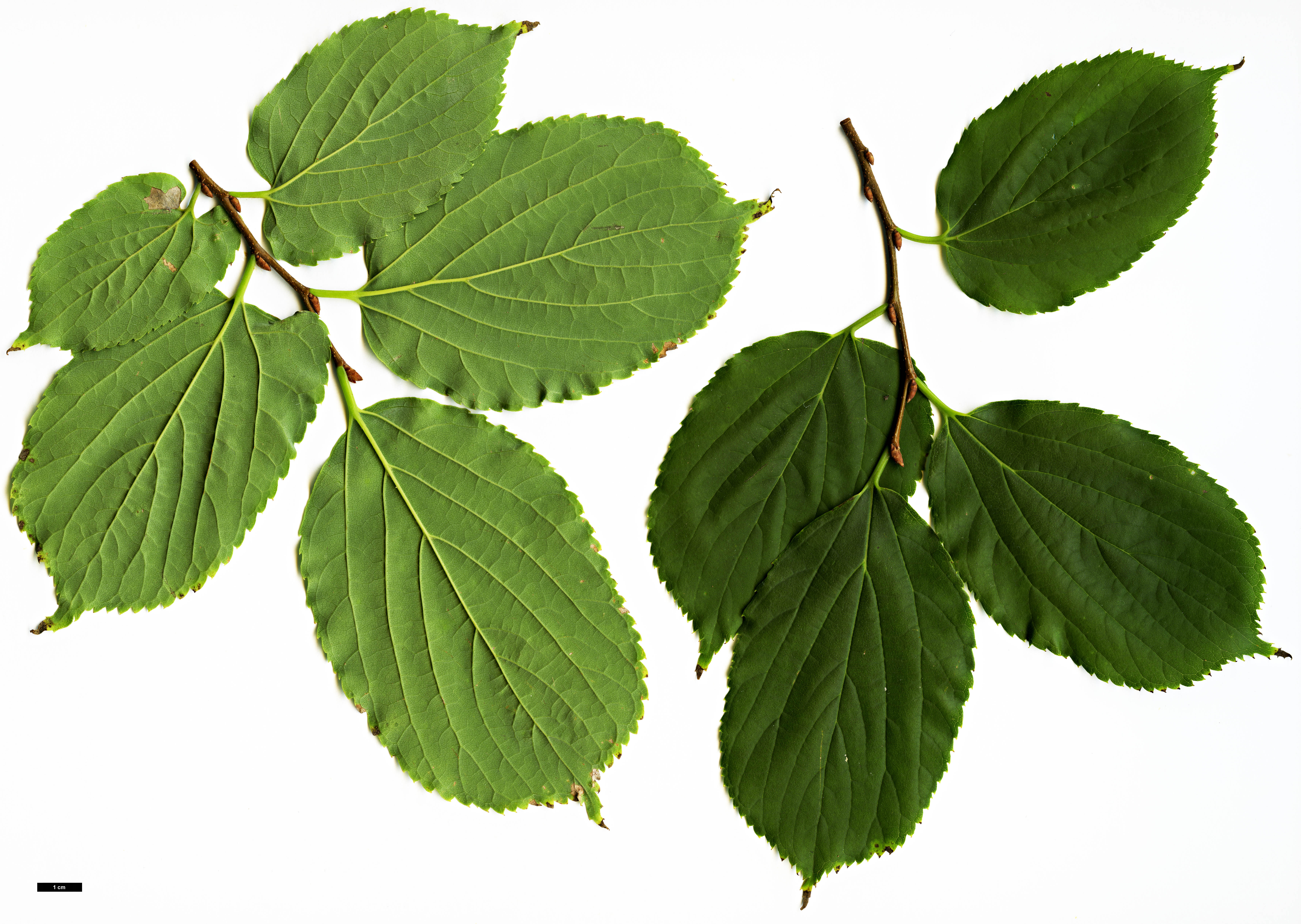 Family Cannabaceae Genus Celtis Specy aurantiaca