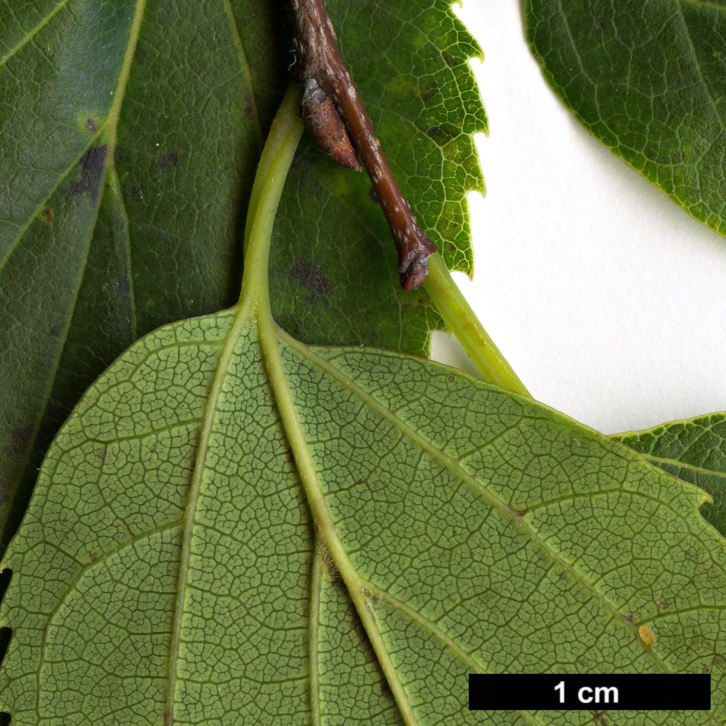 High resolution image: Family: Cannabaceae - Genus: Celtis - Taxon: choseniana