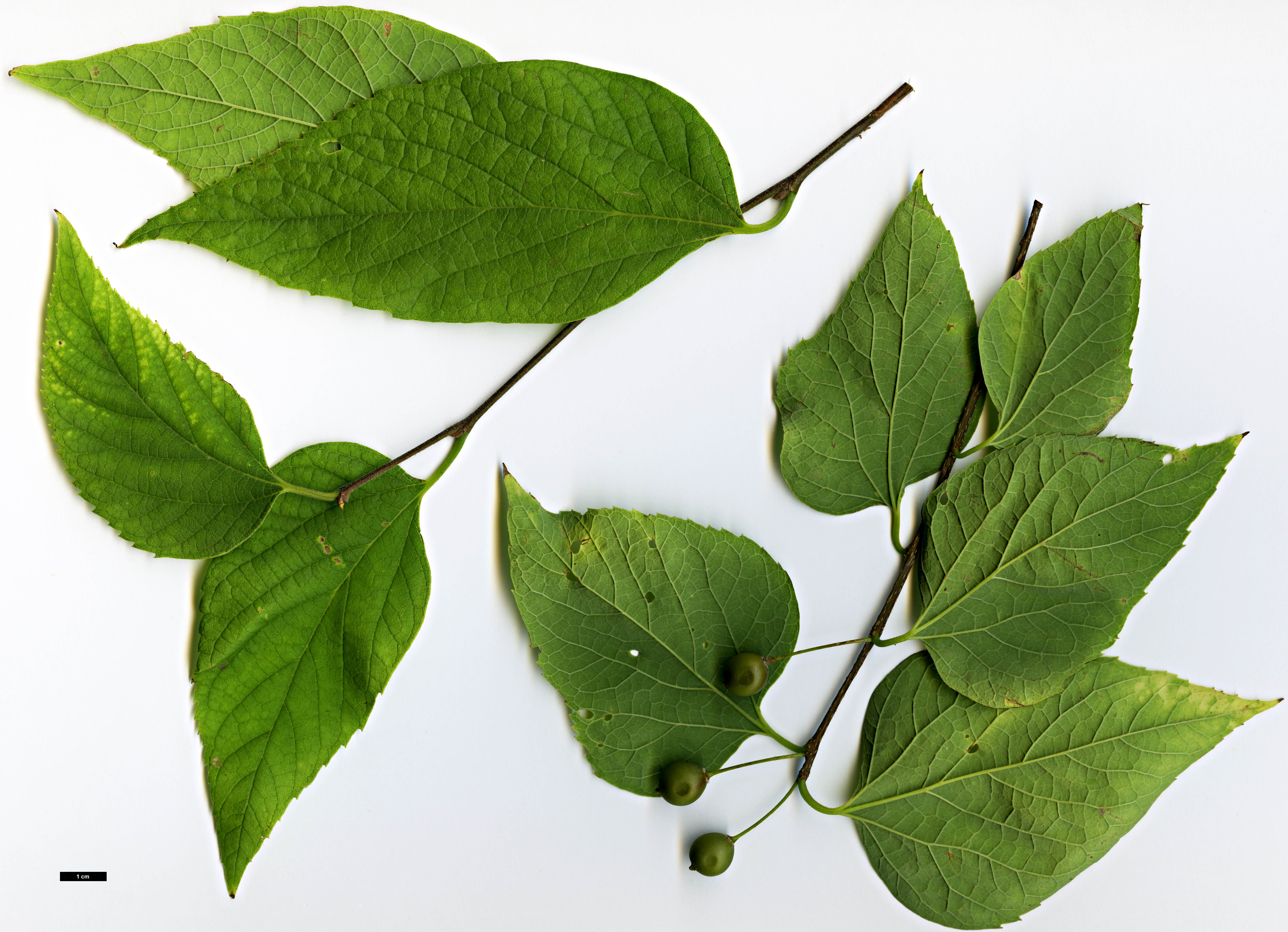 Family Cannabaceae Genus Celtis Specy occidentalis