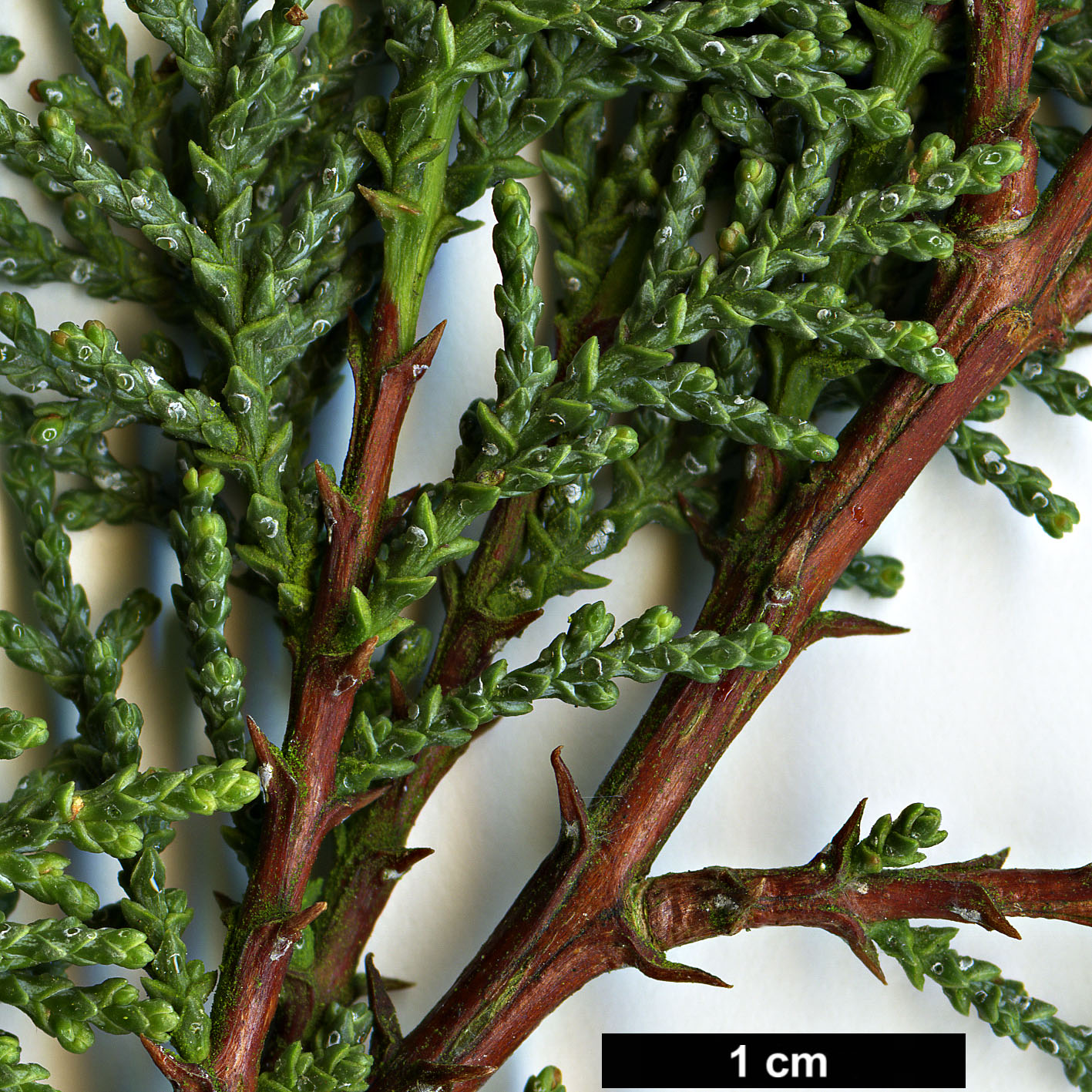 High resolution image: Family: Cupressaceae - Genus: Cupressus - Taxon: macnabiana