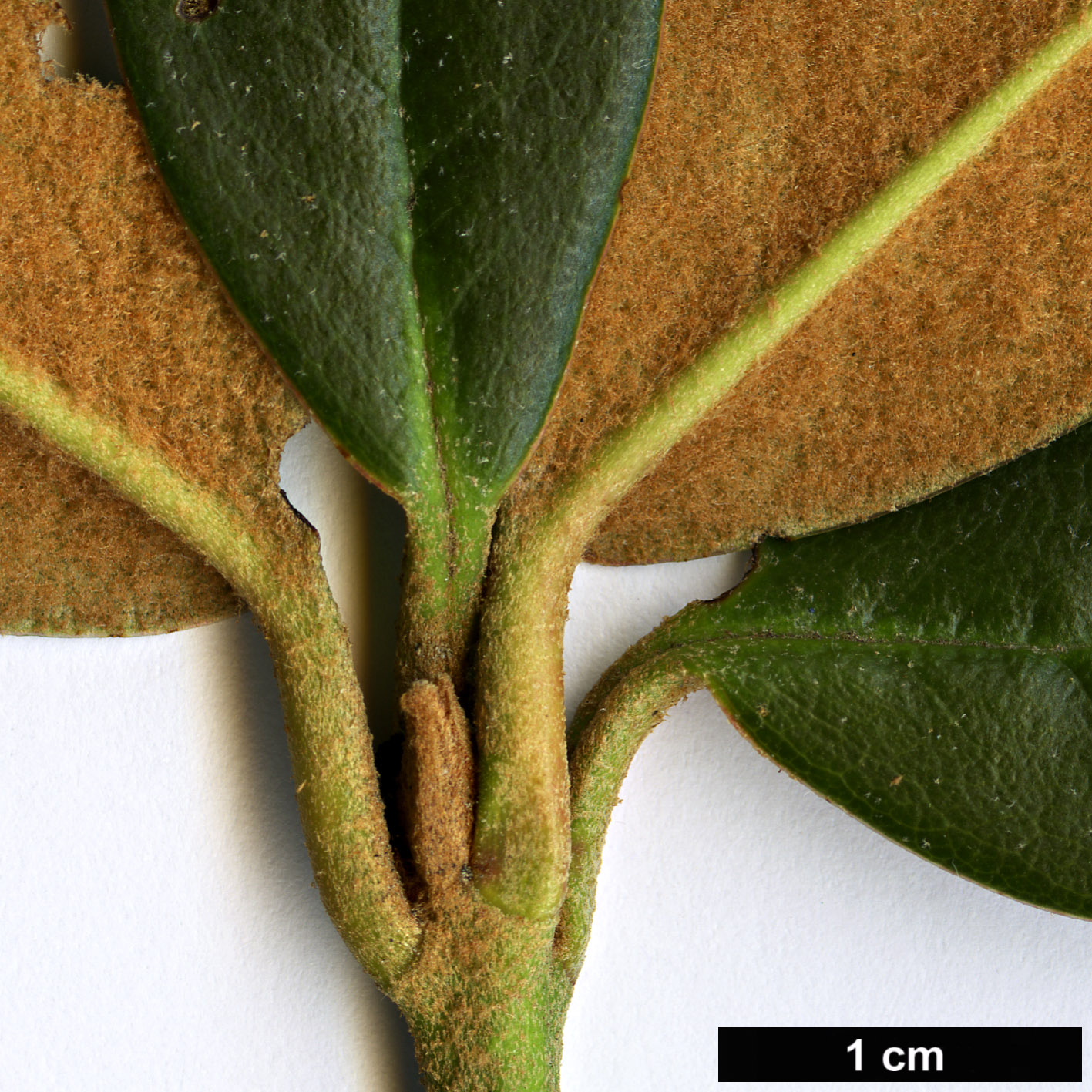 High resolution image: Family: Ericaceae - Genus: Rhododendron - Taxon: haematodes