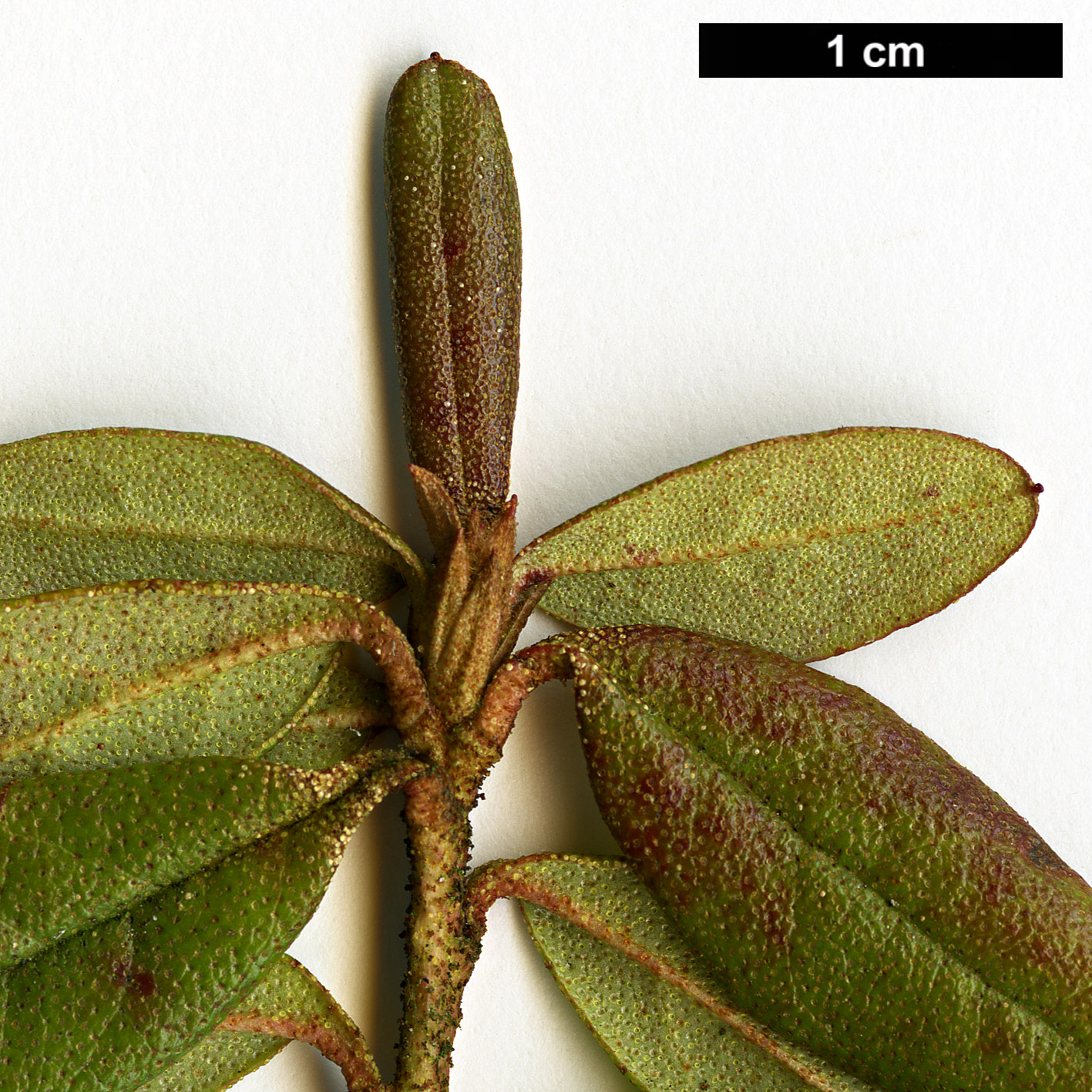 High resolution image: Family: Ericaceae - Genus: Rhododendron - Taxon: russatum