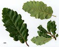 HerbariumCode: IOS - Herbarium: International Oak Society Tour - Number plant: 2010-SW-Iberia - Number picture: 01