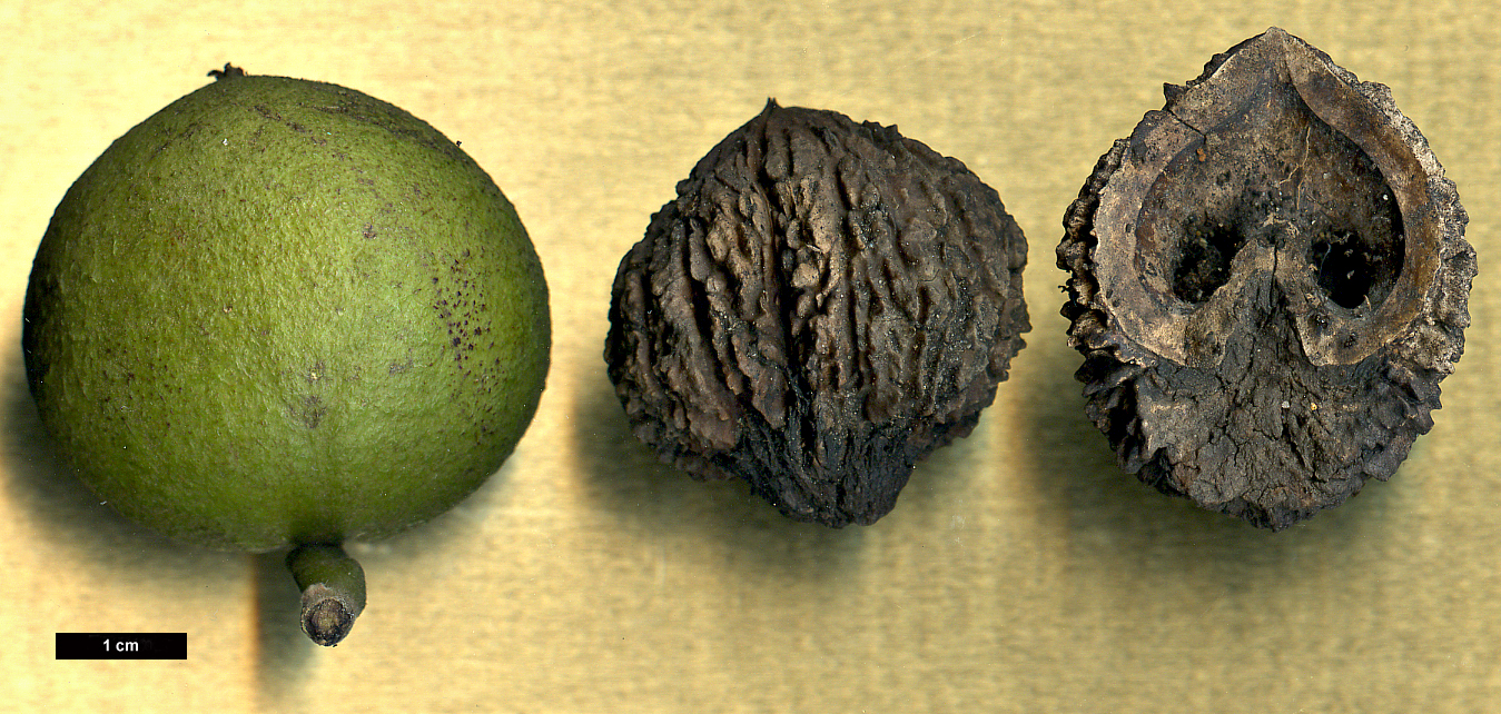 High resolution image: Family: Juglandaceae - Genus: Juglans - Taxon: nigra
