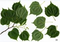 HerbariumCode: GAMMON - Herbarium: Gammon, Birchfleet Nurseries (UK) - Number plant: 0000 - Number picture: 01