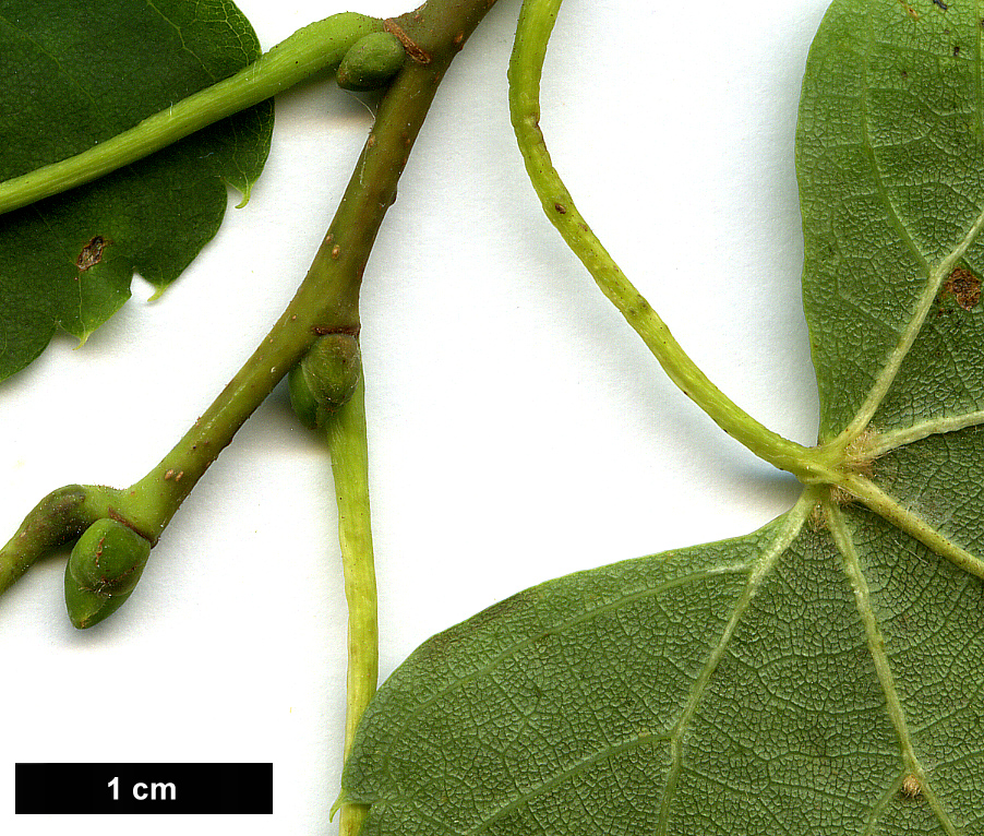 High resolution image: Family: Malvaceae - Genus: Tilia - Taxon: 'Harold Hillier' (T.japonica 'Ernest Wilson' × T.mongolica)