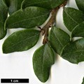 HerbariumCode: WPA - Herbarium: Wakehurst Place Ardingly (UK) - Number plant: 252-85-08679-BOVE61 - Number picture: 03