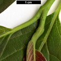 HerbariumCode: GAMMON - Herbarium: Gammon, Birchfleet Nurseries (UK) - Number plant: 0000 - Number picture: 02
