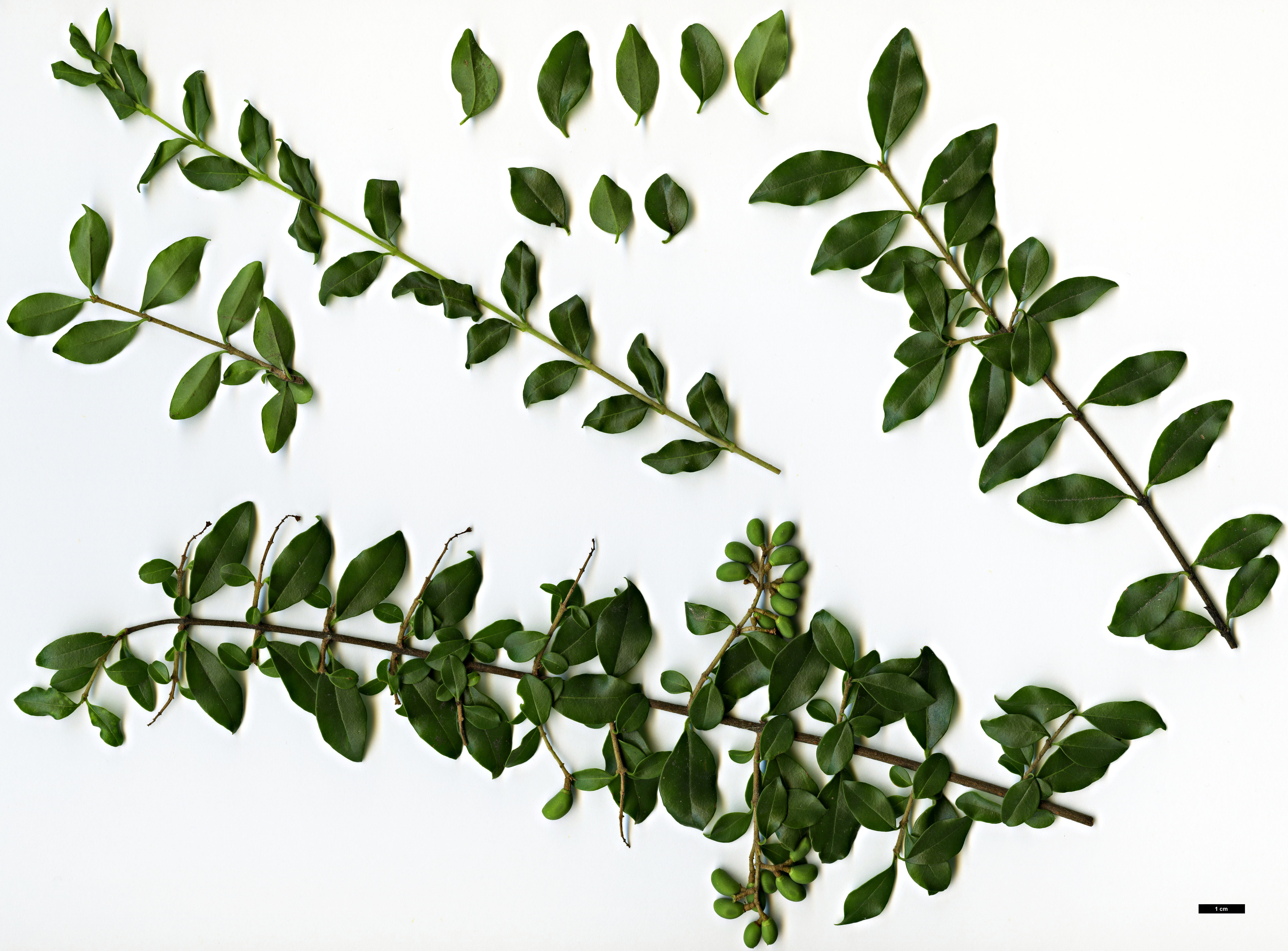 Family Oleaceae Genus Ligustrum Specy delavayanum
