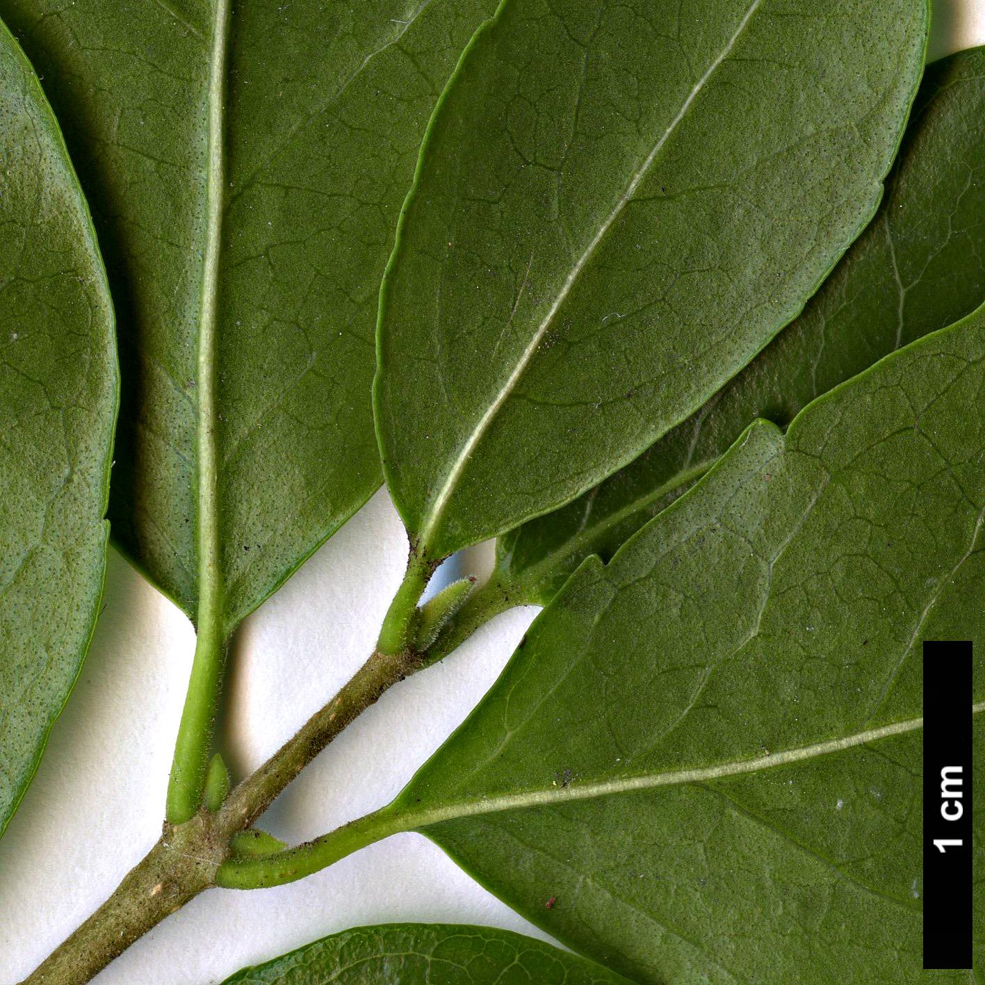 Family Oleaceae Genus Phillyrea Specy latifolia