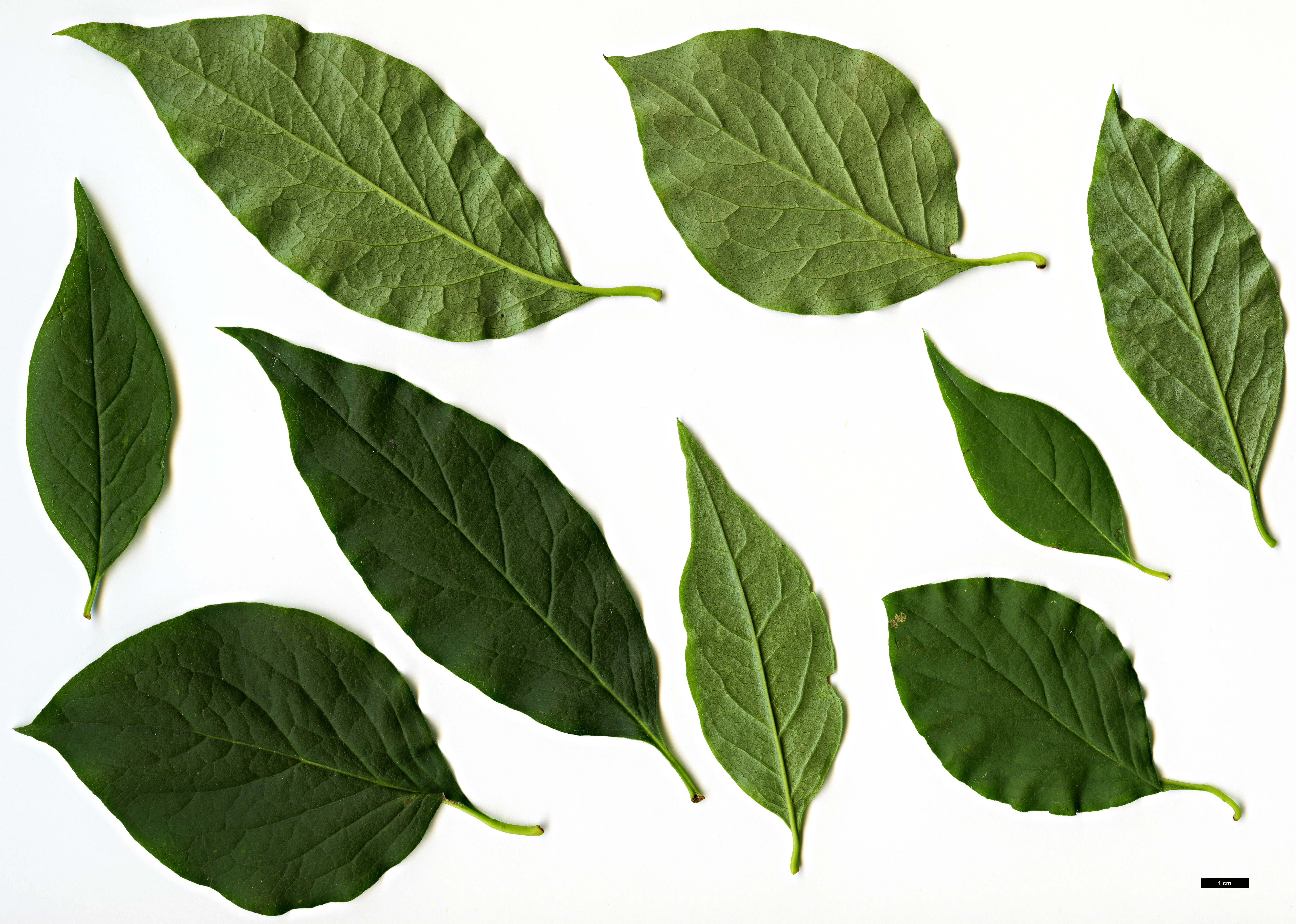 Family Oleaceae Genus Syringa Specy reticulata SpeciesSub