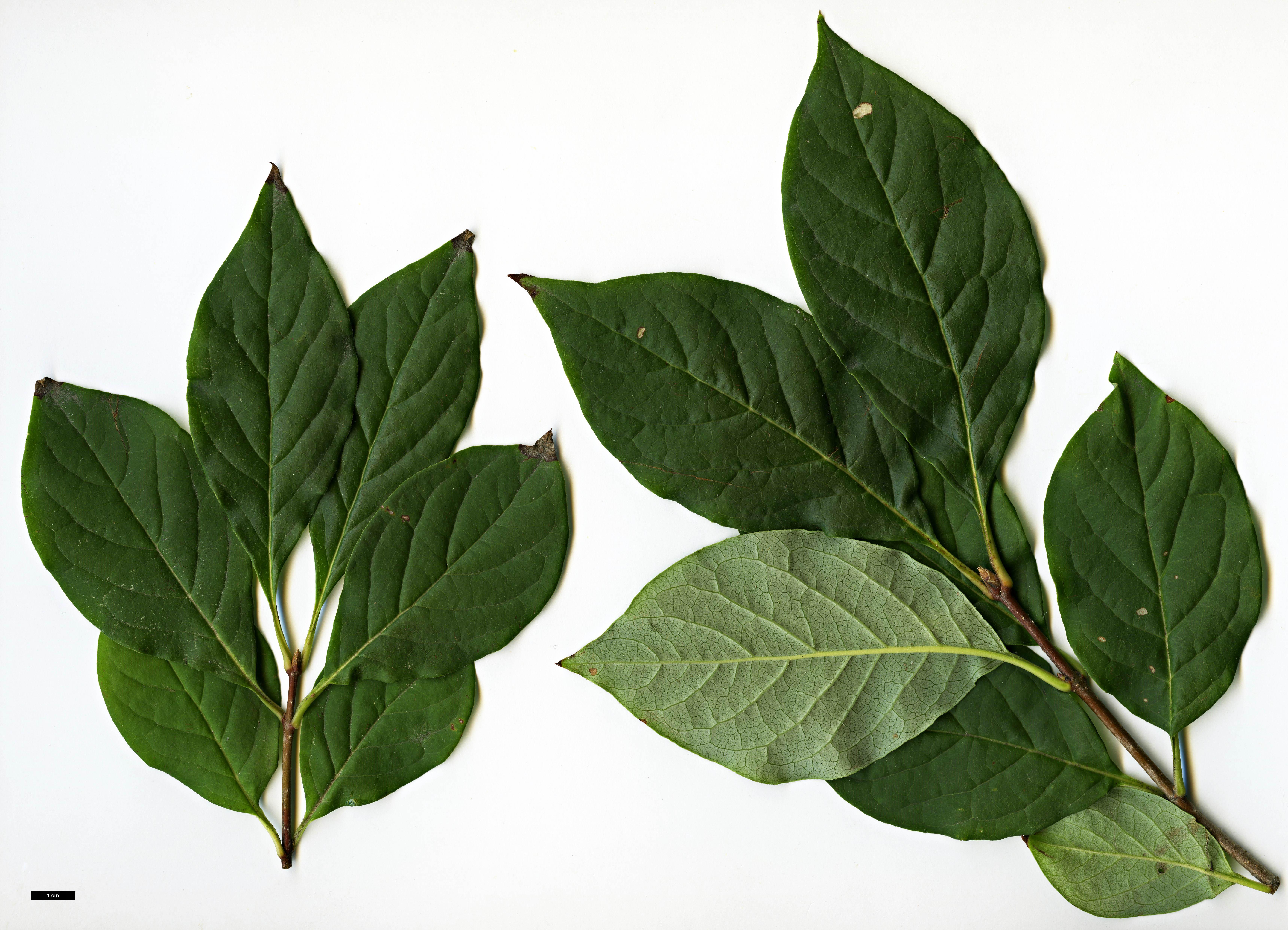 Family Oleaceae Genus Syringa Specy villosa HerbariumCode