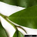 HerbariumCode: RZM - Herbarium: Rolf Zumbrunn (CH) - Number plant: 0000-Seixal Terra Cha-Madeira - Number picture: 02
