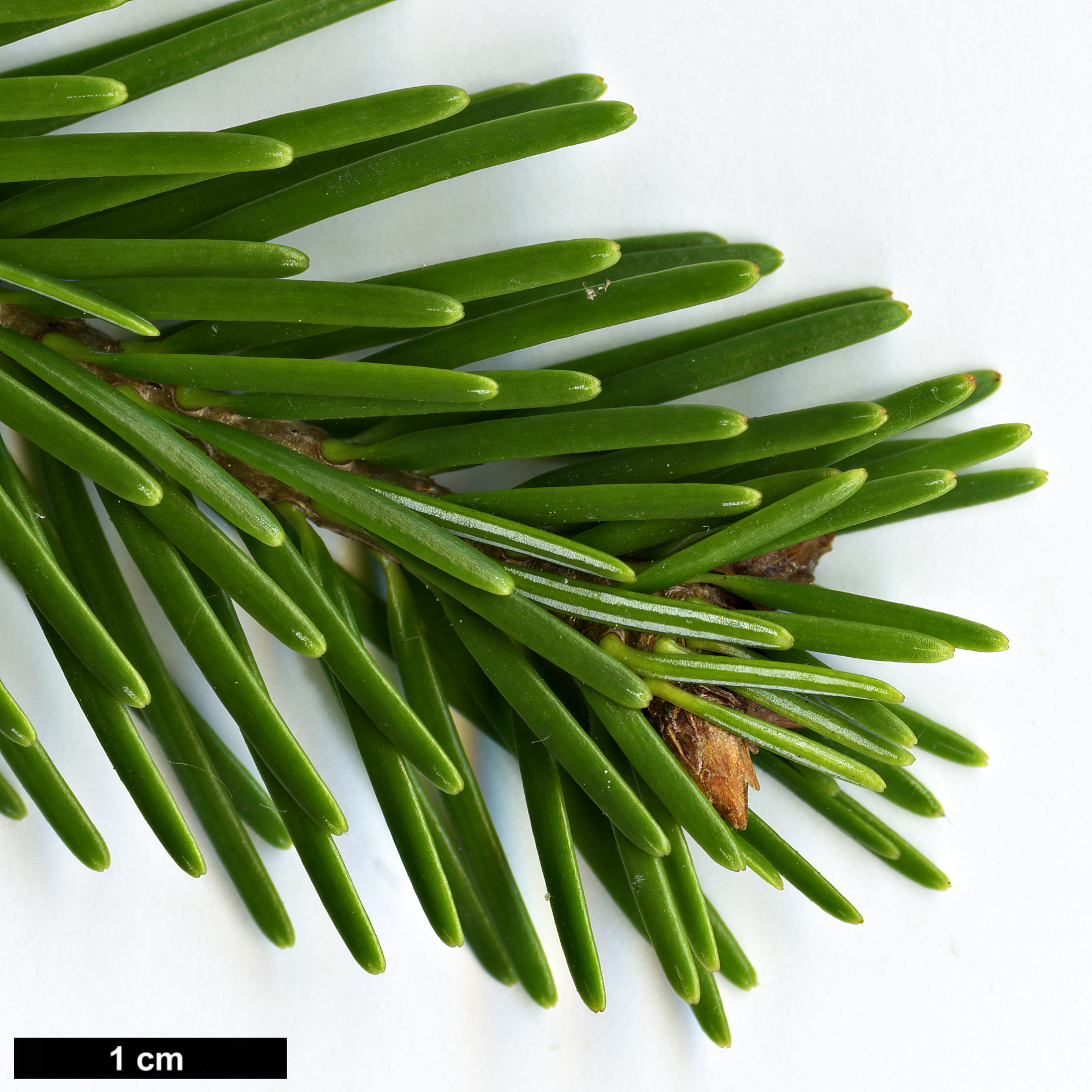 High resolution image: Family: Pinaceae - Genus: Abies - Taxon: cilicica