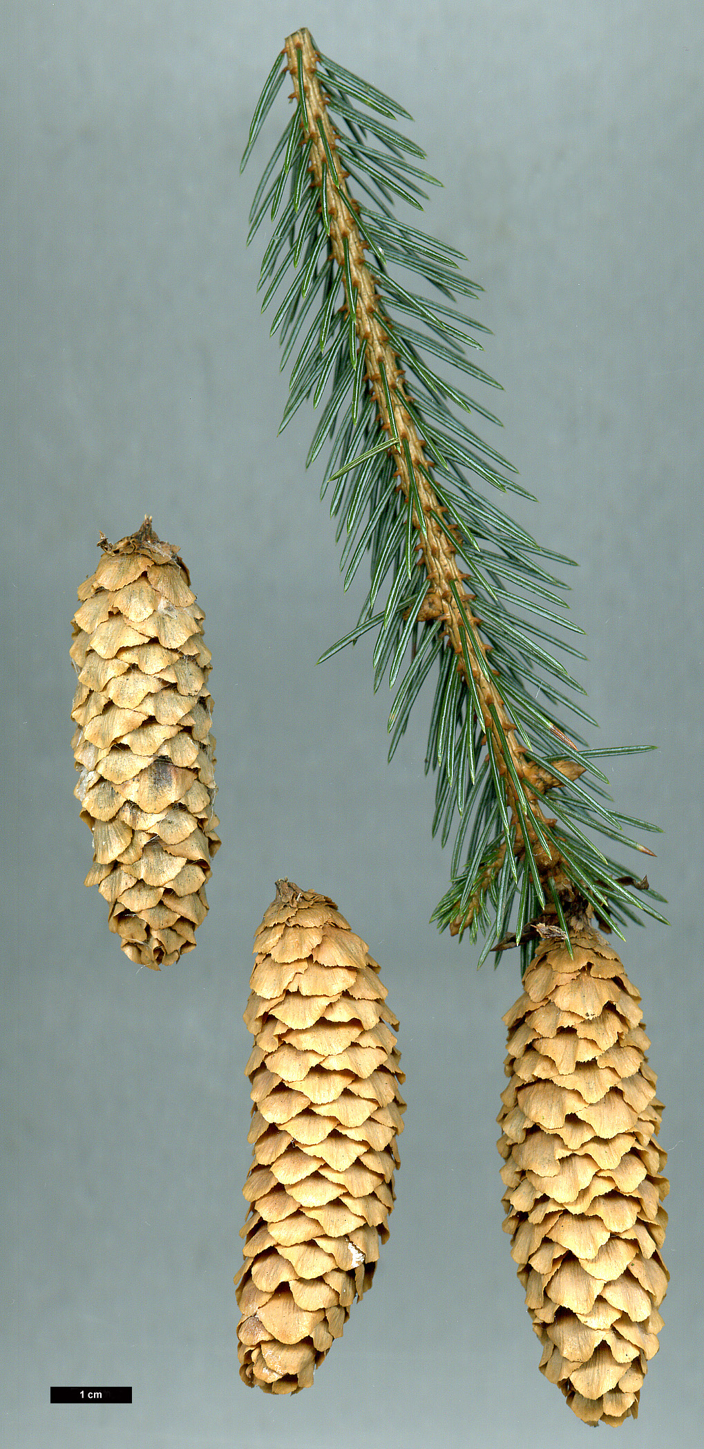 High resolution image: Family: Pinaceae - Genus: Picea - Taxon: engelmannii - SpeciesSub: subsp. mexicana