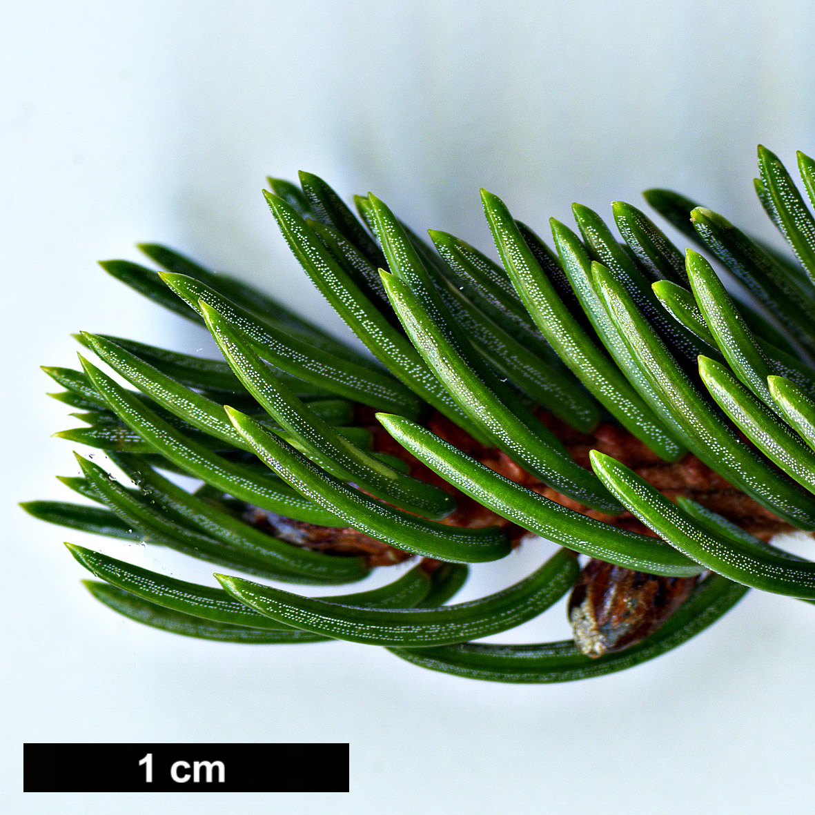 High resolution image: Family: Pinaceae - Genus: Picea - Taxon: glehnii