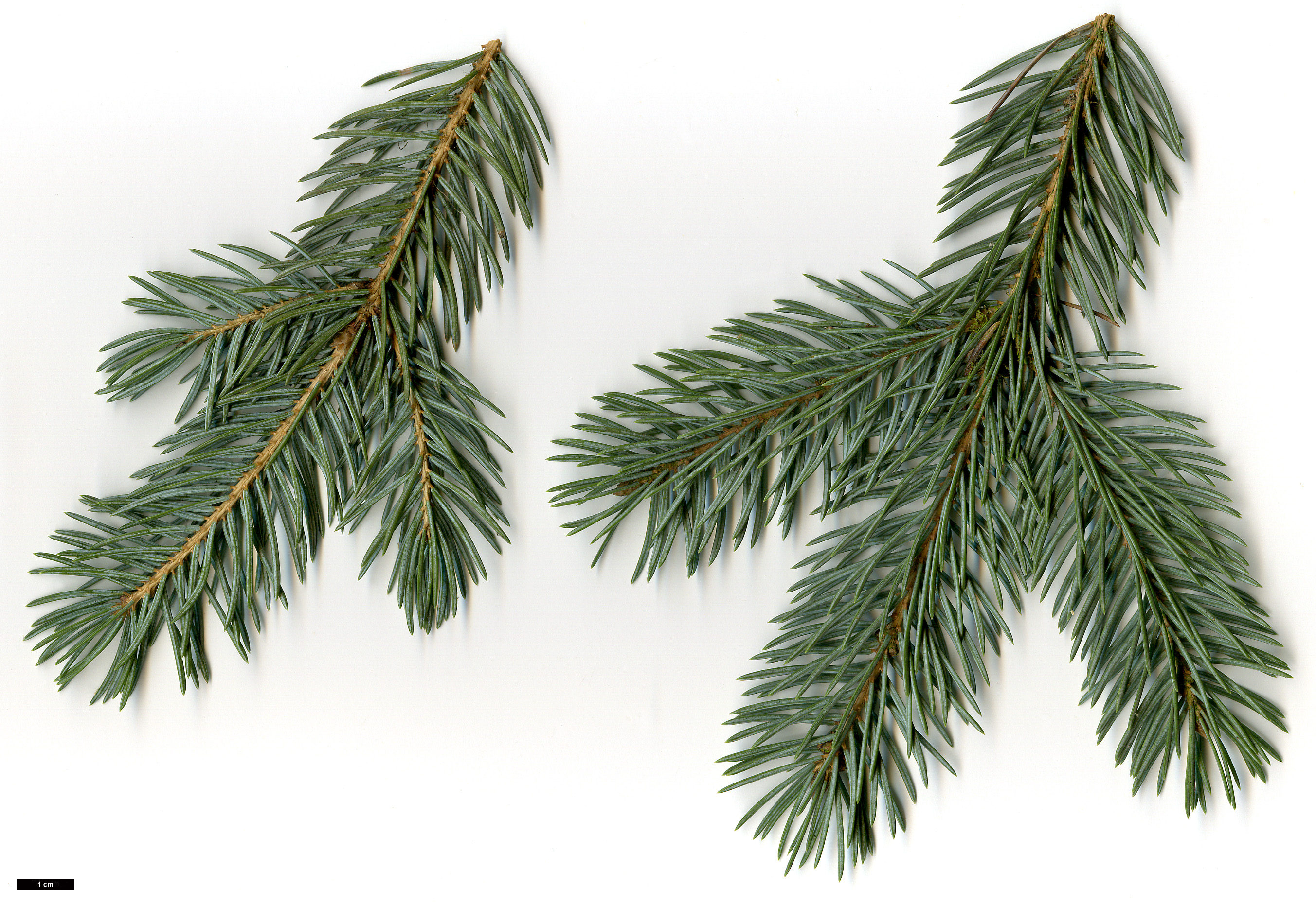 High resolution image: Family: Pinaceae - Genus: Picea - Taxon: pungens - SpeciesSub: Glauca Group