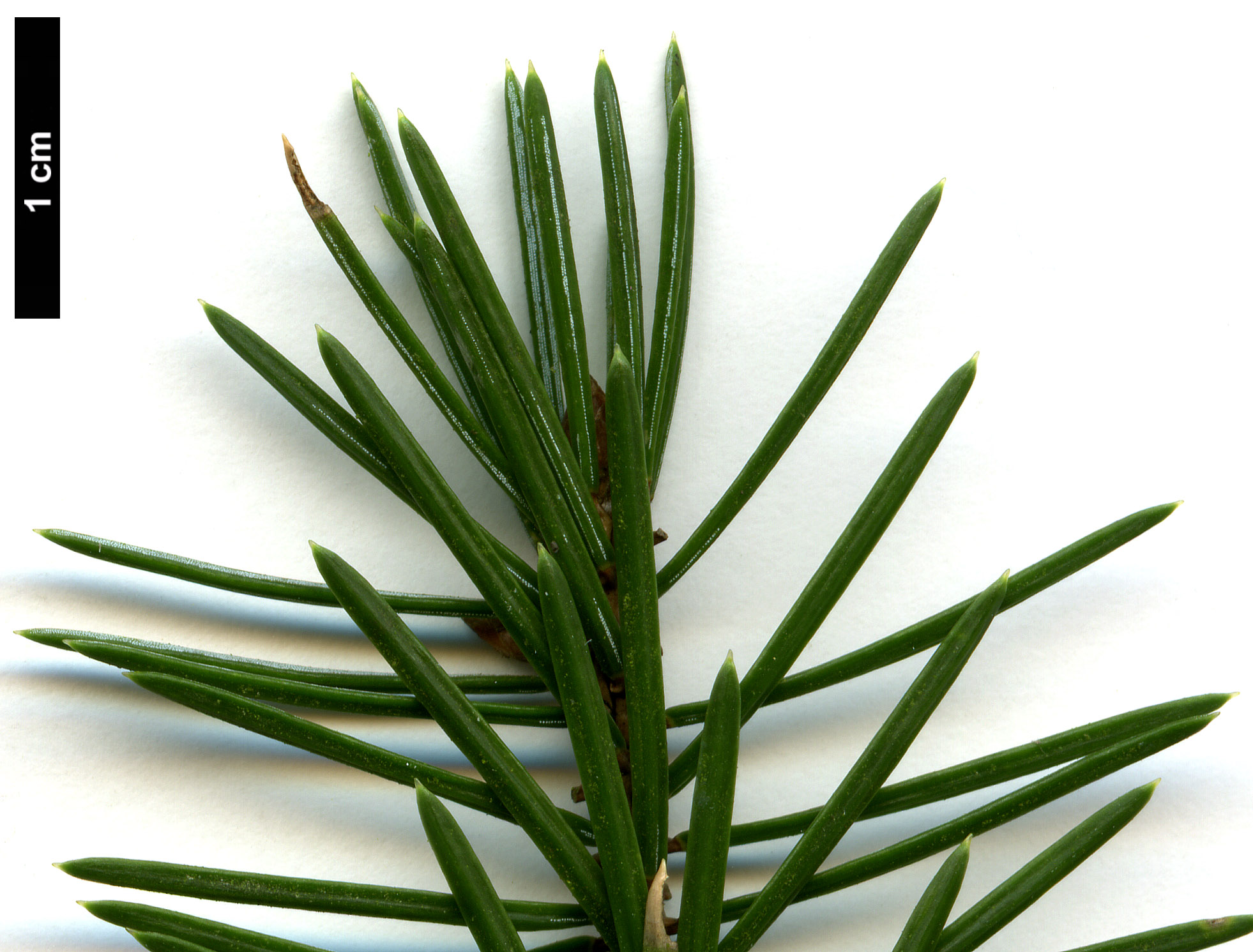 High resolution image: Family: Pinaceae - Genus: Picea - Taxon: sitchensis