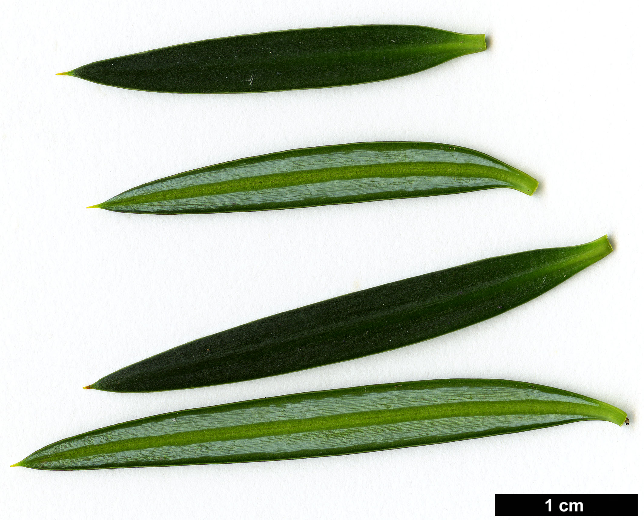 High resolution image: Family: Podocarpaceae - Genus: Podocarpus - Taxon: nubigenus