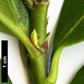 HerbariumCode: HGAA - Herbarium: Hillier Gardens & Arboretum Ampfield (UK) - Number plant: 20120634A-♀ - Number picture: 05