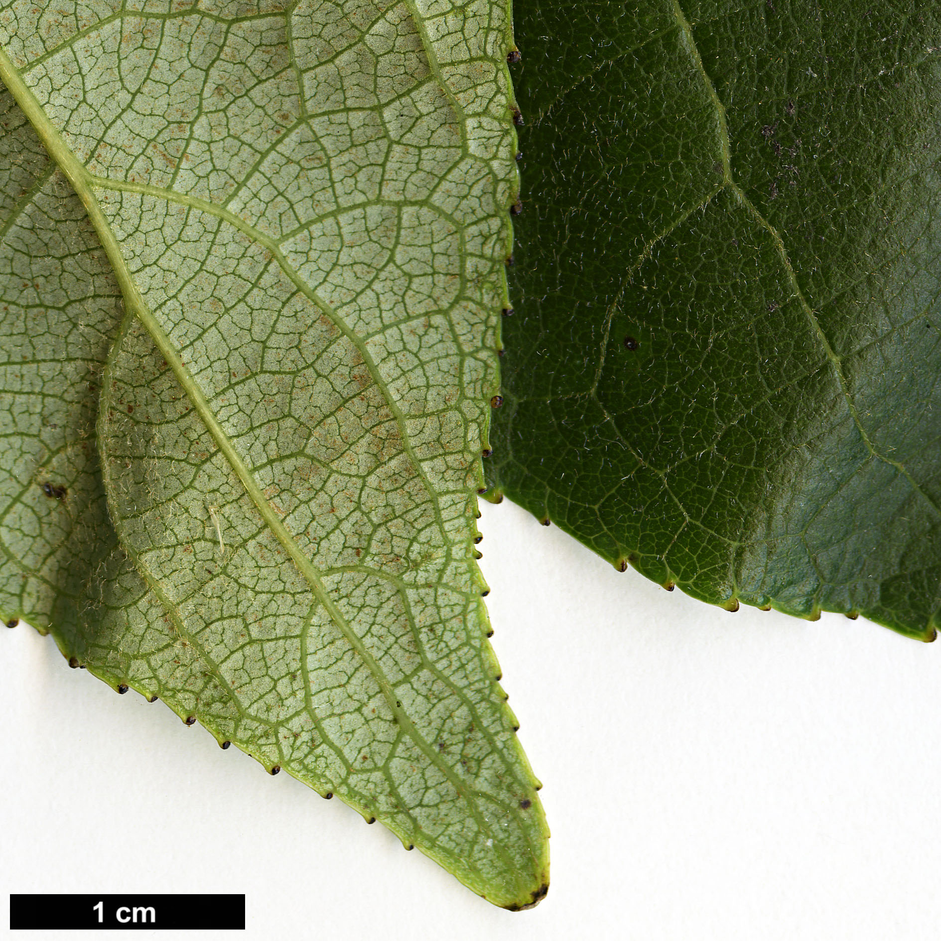 High resolution image: Family: Salicaceae - Genus: Populus - Taxon: szechuanica var. tibetica
