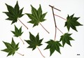 HerbariumCode: CRÛG - Herbarium: Crûg Farm Plants, Wales (UK) - Number plant: 1999-BSWJ6886-Taiwan - Number picture: 09