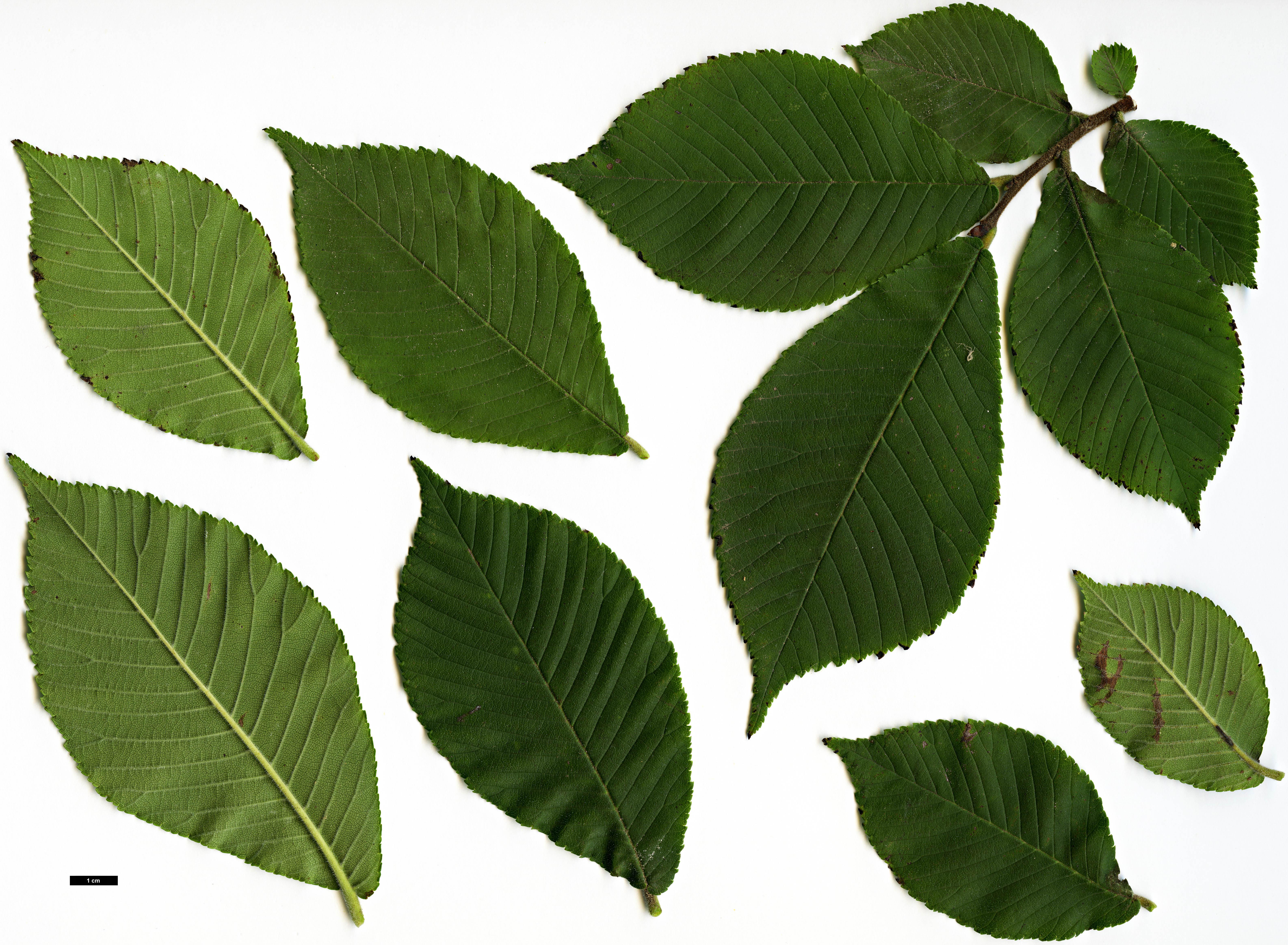 Family Ulmaceae Genus Ulmus Specy chenmoui HerbariumCode